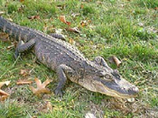 American Alligator image