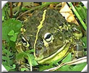 African Bull Frog image